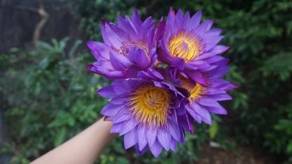 National Flower of Sri Lanka